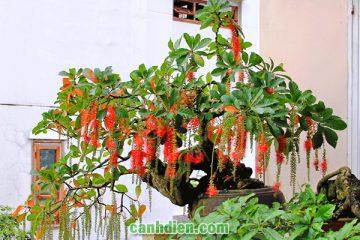 Các loại cây Hoa Thân Gỗ đẹp mắt dễ trồng