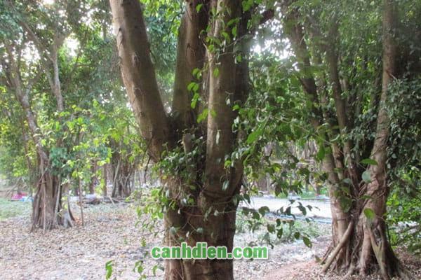 Công dụng của cây Sanh