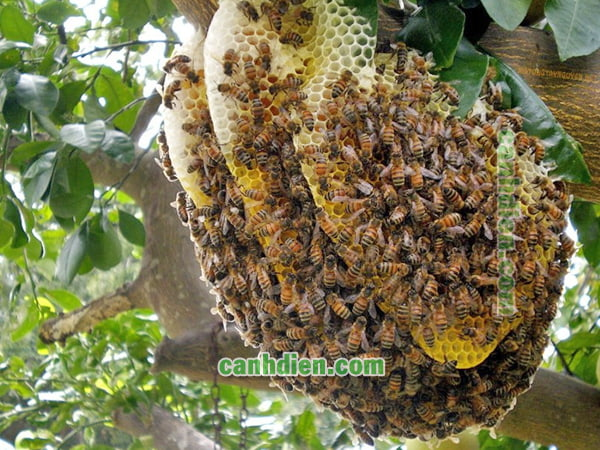 Nuôi ong mật