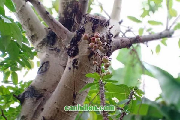 Thông tin về cây Sung