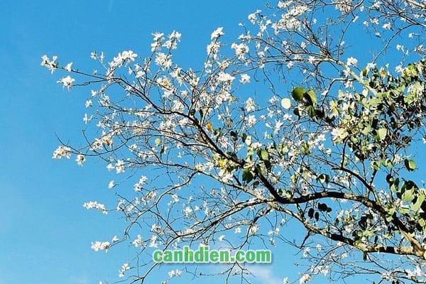 Tìm hiểu về cây hoa ban trắng
