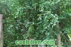 Tìm hiểu về cây Sanh