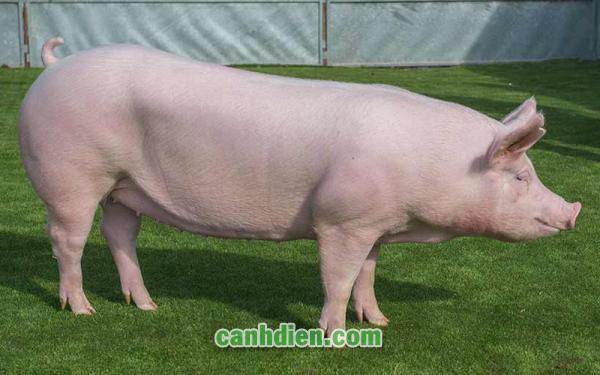 Bệnh Liên Cầu Khuẩn Ở Lợn