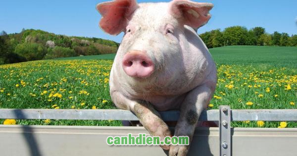 Bệnh Lở Mồm Lông Móng Ở Lợn