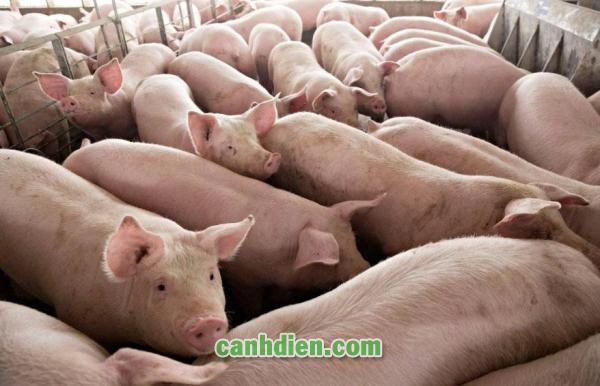 Các Bệnh Thường Gặp Ở Lợn Thịt
