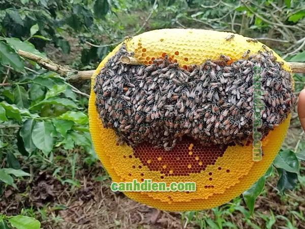 Các giống ong mật