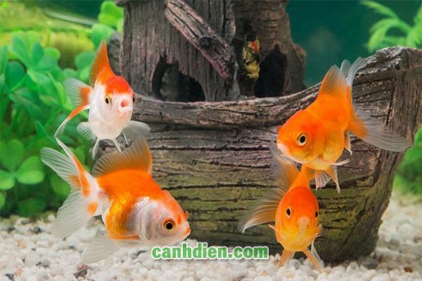 Các Loại Cá Cảnh Nước Ngọt