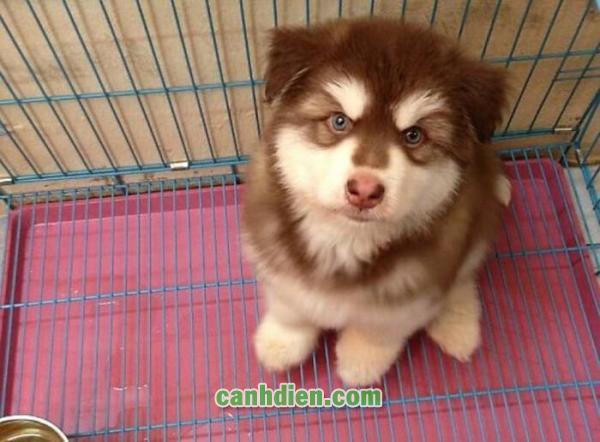 Các Loại Chó Cảnh Giá Rẻ