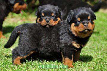 Các loài Chó quý hiếm của Việt Nam