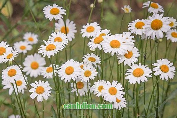 Các Loại Hoa Có Thể Dùng Làm Trà Có Thể Bạn Chưa Biết