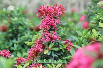 Các loại Hoa Mẫu Đơn đẹp và phổ biến nhất
