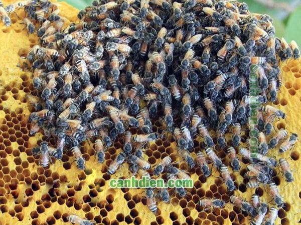 Các loài ong mật ở việt nam