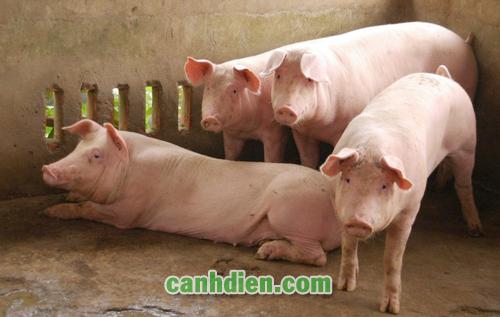 Cách Điều Trị Lợn Bỏ Ăn