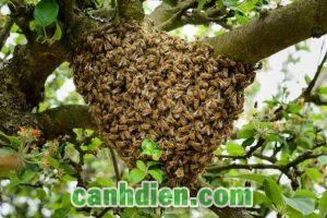 Cách Dụ Ong Mật Về Làm Tổ