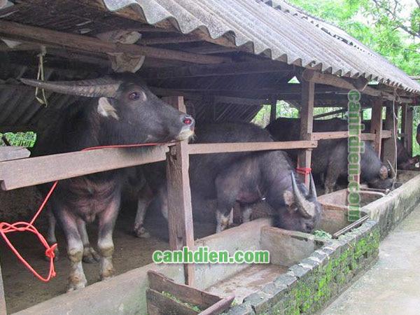 Cách nuôi, chăm sóc trâu bò tốt nhất