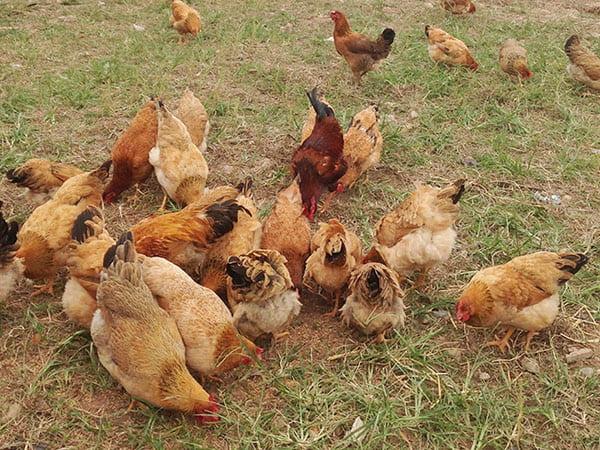 Cách nuôi gà