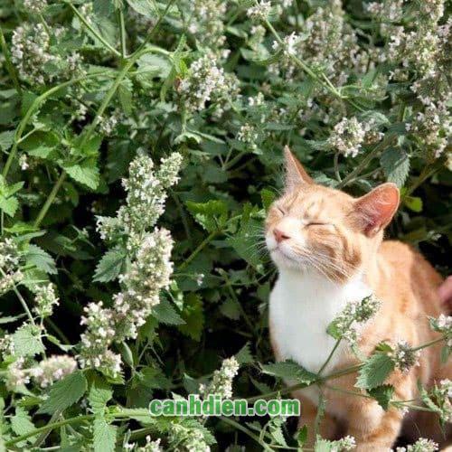 Cây Bạc Hà Mèo