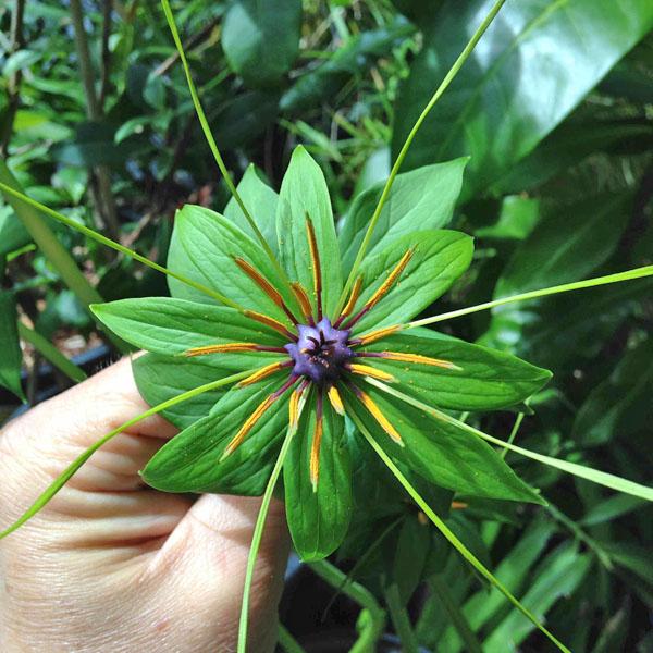 Cây Bảy Lá Một Hoa