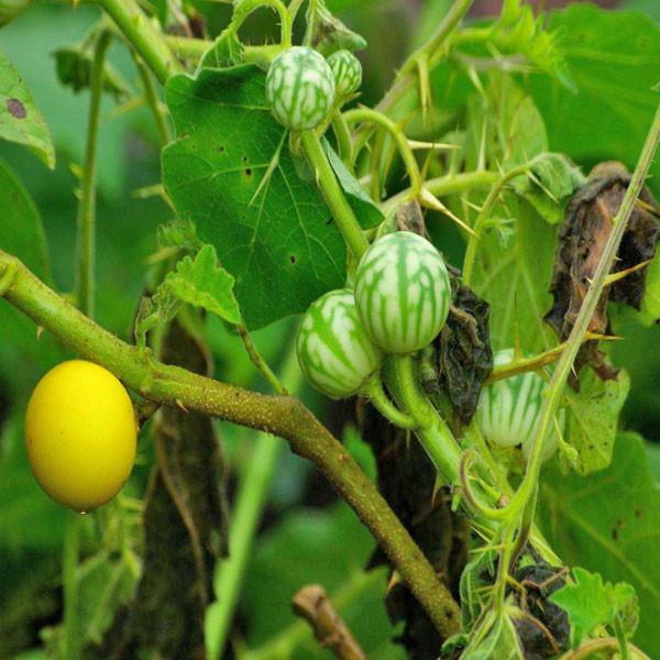 Cây Cà Trái Vàng