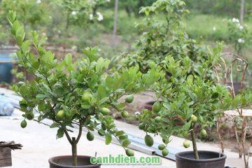 Các loại cây ăn quả trồng trong chậu dễ chăm sóc nhất