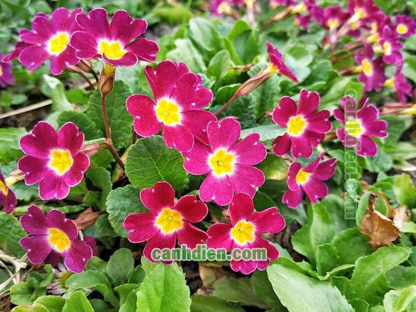 Cây hoa anh thảo - đặc điểm