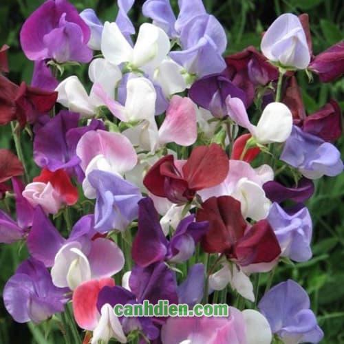 Cây Hoa Đậu Thơm