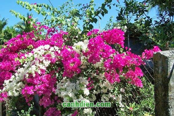 Cây hoa giấy - cây bông giấy