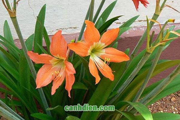 Cây hoa Huệ Lily