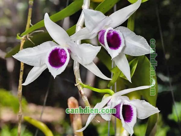 Cây hoa lan phi điệp tím - đặc điểm