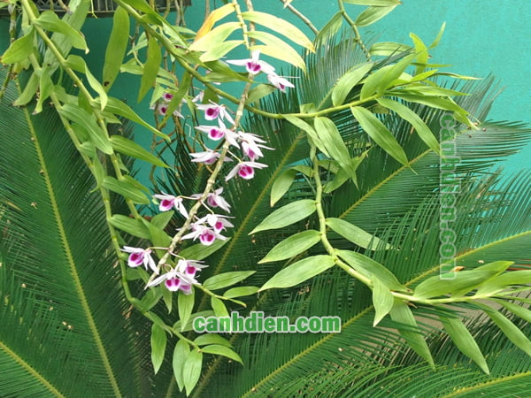 Cây hoa lan phi điệp tím