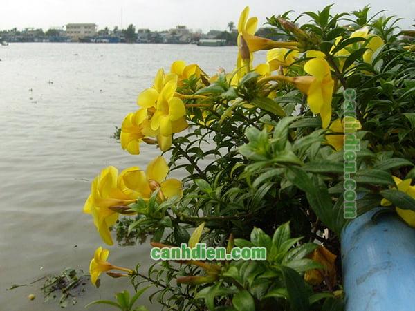Cây Hoa Quỳnh Anh