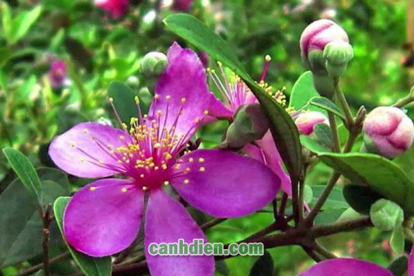 Cây hoa sim