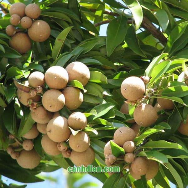 Cây Hồng Xiêm