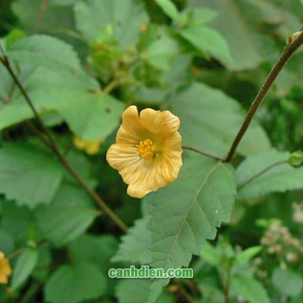 Cây Ké Hoa Vàng