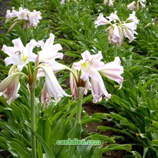 Cây Hoa Trinh Nữ Hoàng Cung