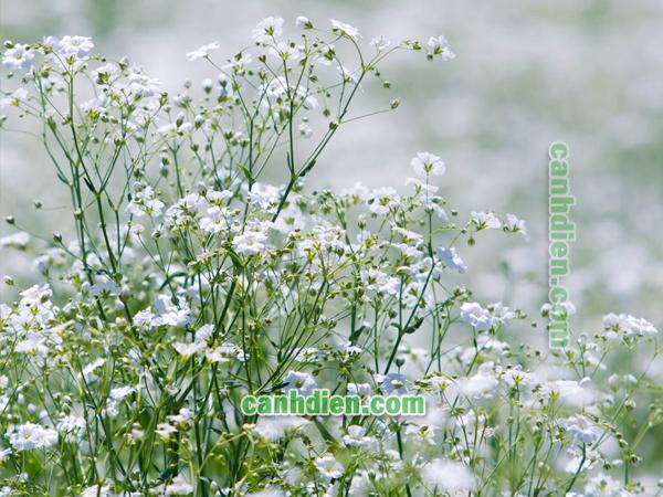 Chăm sóc cây hoa Baby