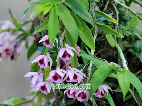 Chăm sóc cây hoa lan phi điệp tím