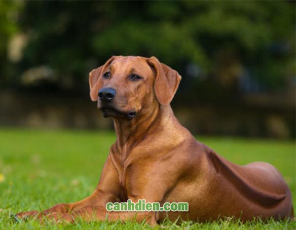 Chó Bị Bệnh Care Thể Thần Kinh