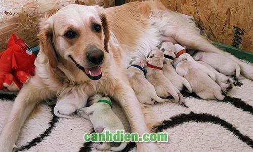 Cho Chó Mẹ Ăn Gì Để Có Nhiều Sữa
