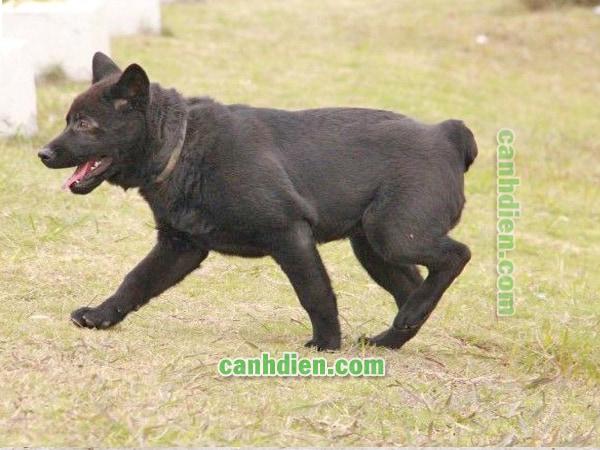 Chó H'Mông cộc đuôi