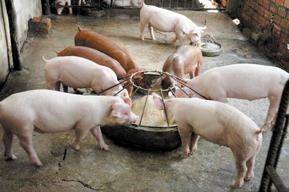 Cho Lợn Ăn Bao Nhiêu Là Hợp Lý