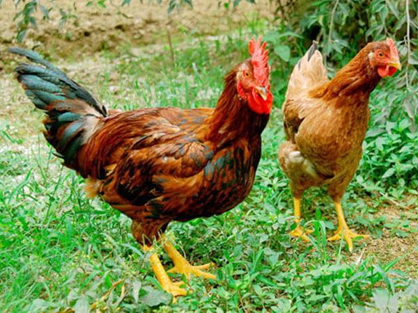Đặc điểm của gà