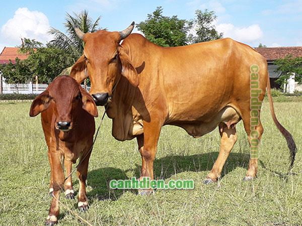 Đặc điểm của trâu bò