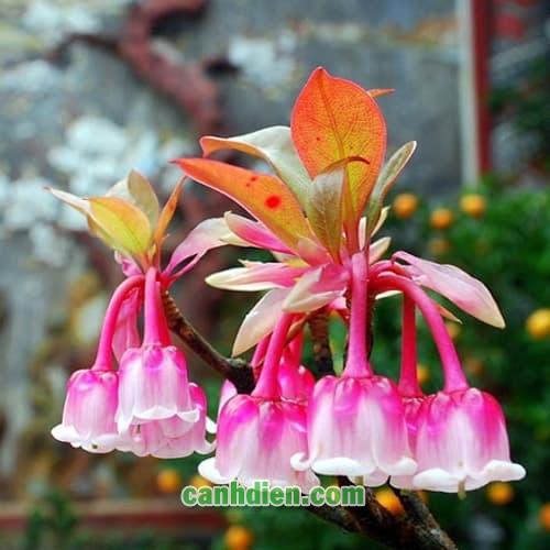 Cây Hoa Đào Chuông