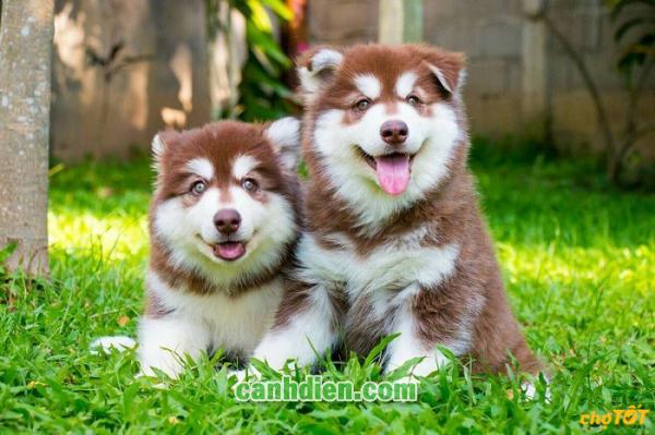 Giống Chó Alaska Ở Việt Nam