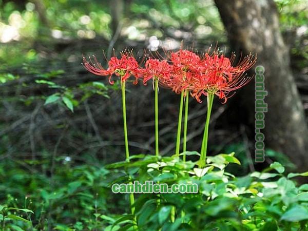 Hoa bỉ ngạn - đặc điểm