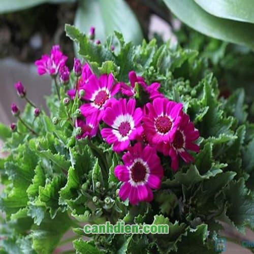 Hoa Cúc Lá Nho