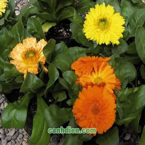 Hoa Cúc Susi