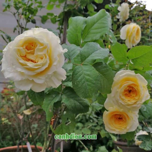 Hoa Hồng Beatrice Rose
