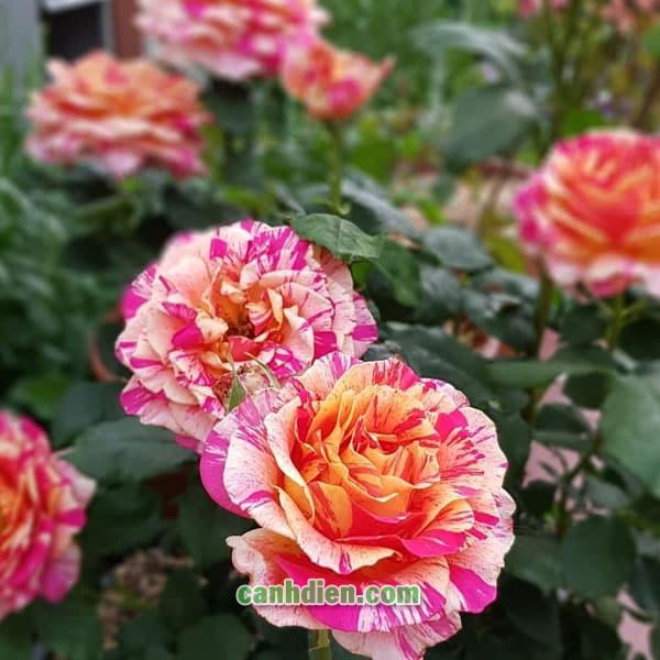 Hoa Hồng Claude Monet Rose